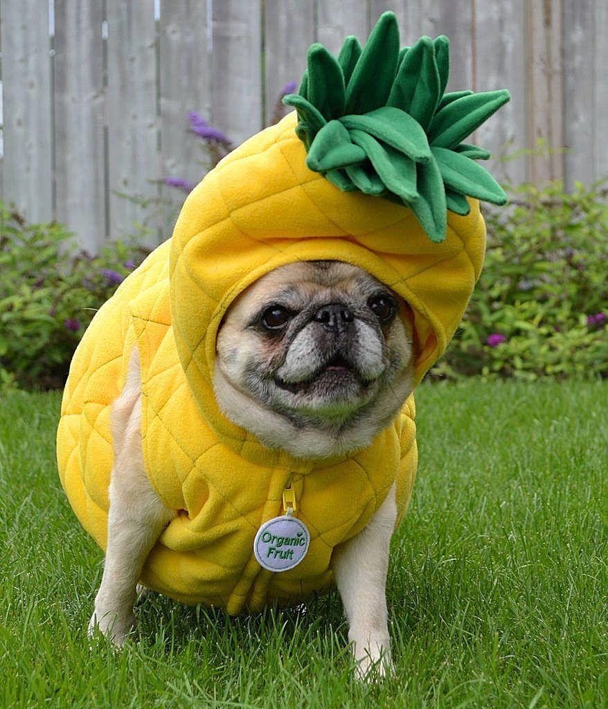犬がパイナップルを着ている
